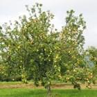 Формиране на ябълка катоподобрена етажна корона
