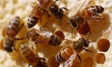 Пчелите могат да смятат и да разпознават лица