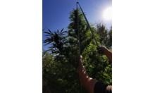 Хванаха 35-годишен бургазлия докато бере реколта от канабисова нива край Камено (Снимки)