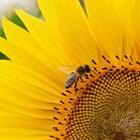 Слънчогледовият мед има тъмножълт до светлокафяв цвят и приятен вкус и аромат. Той може да се съхранява дълго време, без да се измени. При кристализиране образува едри кристали с прозрачен цвят. Като храна за пчелите той е много добър.