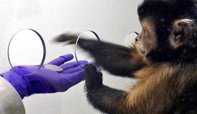 Няколко месеца, след като приматите започнали да получават пари за свършена от тях работа, не само научили, че могат да си купят плодове, но поставени в ситуация на избор, сами отивали при този, който им дава повече за по-малко жетони.