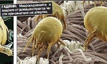 Почна сезонът на алергиите. Пухчетата от тополите са невинни. Житните полени причиняват сърбежите, обривите, кихането