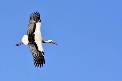 Първият за тази година щъркел долетя в село Подкрепа. СНИМКА: Pixabay
