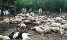 Зараза. С убитите животни в Странджа спасяват износ за 244 млн. лв.
