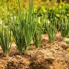 Срещу гниенето по лука – агротехнически мерки