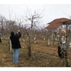 Зимните резитби започват от студоустойчивите видове (ябълка, круша,слива)