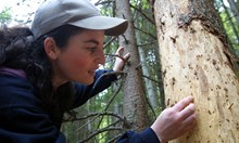 Витоша загива: коренова гъба, ликояди и зарази я унищожават