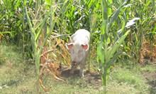 Тайна търговия със скрити прасета свали цената до 1,50 лв./кг  живо тегло