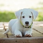 Домашно кученце