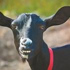 Научете се да определяте възрастта на козата