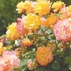 Добри съседи за розите