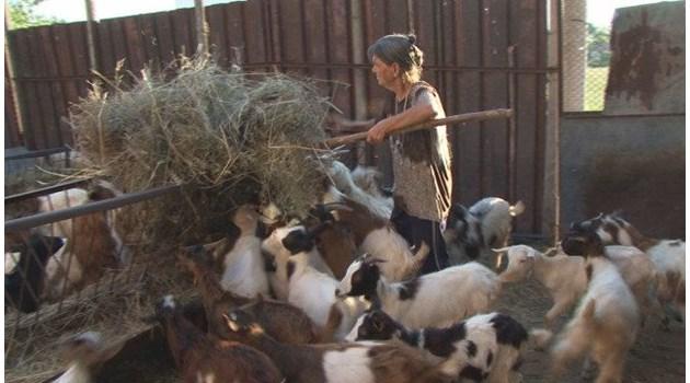 Край на драмата: Умъртвиха всички животни в Шарково. Последно бе стадото на баба Дора