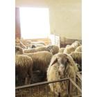 Не рискувайте ефективността на овцефермата