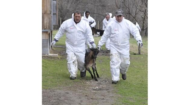 Африканската чума избива 22 хиляди прасета в Естония. През 2001 г. фермери в Англия се самоубиват, след като шап покосява 10 милиона животни в страната