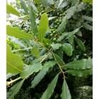 Отгледайте си дафиново дърво