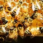 Започнаха плащанията по Националната програма по пчеларство