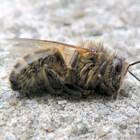 Замърсеният въздух убива пчелите