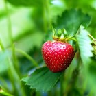 За да опазите ягодите от сиво гниене