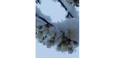 Падането на температурите до минус 2-3 градуса утре сутрин ще унищожи разцъфтелите круши, праскови, сливи.