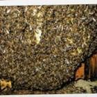 Специалистът напомня: Високите ноемврийски температури обезсилват пчелите, защото те не успяват да образуват бавно и плавно нормално действащо зимно кълбо.