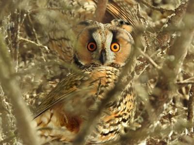 Горска ушата сова Снимка: Пиксабей