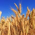 За разлика от посочените държави Комисията очаква почти стабилна реколта от пшеница от около 10,9 милиона тона за Полша.