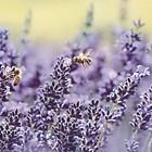 Лавандулата осигурява голяма паша и пчелите събират от нея значителни количества изключително ароматен мед.