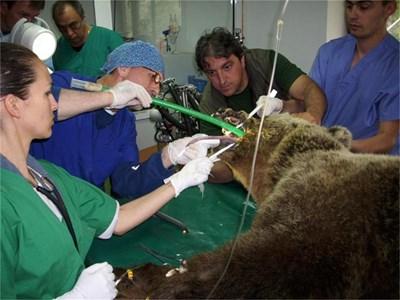 Проф. Богдан Аминков (в средата) през тръба вкарва кислород на мечката Наташа. СНИМКИ: АВТОРЪТ