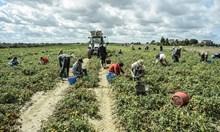 Българските роми в Италия заработват 5 пъти повече от това, което биха спечелили у нас. Работят за земеделската мафия