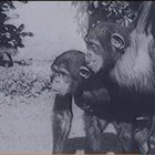 Шимпанзета в развъдника за маймуни в Сухуми