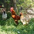 Ако имате петли, имате и проблеми. Защото те гонят кокошките, които бягат и нервничат.