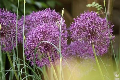 Декоративният лук е лесен за отглеждане от млади градинари.