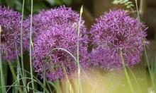 За градинарите без опит е подходящ декоративният лук