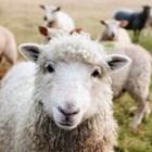 Цените на живите животни намаляват