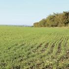 Пшеницата поникна без проблеми