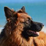 Крадец съди стопанка на немски овчарки, кучетата го изнасилили при обира