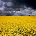 Предстоящата реколта от рапица в Евросъюза и на Острова може да достигне само 17 милиона тона. Така ще надмине ниското ниво от предходната година с 169 000 т.