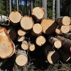 Разследват бракониерска сеч на близо 1500 дървета край Велико Търново