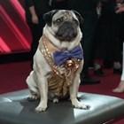 Най-популярното куче в САЩ - мопсът Дъг Снимки: Личен архив