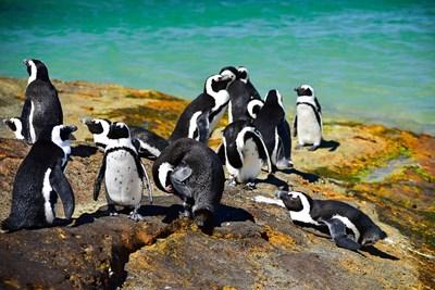 По телата на някои от пингвините са открити по 20 и повече ужилвания. Снимка: PIXABAY