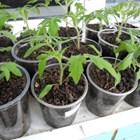 Засяване на ранни домати