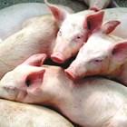 Кои заболявания при свинете сриват рентабилността