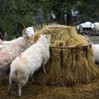 При липса или недостиг на сено за овцете и козите то може да бъде заменено отчасти с груби фуражи - като слама, плява или царевичак, в количество 0,5-1 кг дневно