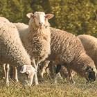 Добро хранене при заплождане на овцете