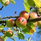 Торене на ябълкови дръвчета