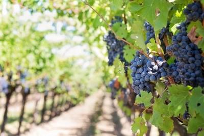 До 24 февруари е приемът по нова мярка за информиране в лозаро-винарския сектор