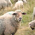 Овцете се заразяват от тревата и водата