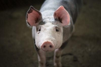 Нови случаи на Африканска чума при диви свине са установени в област Шумен