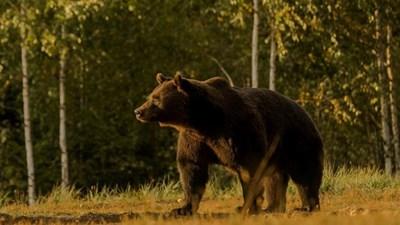 """Артур беше най-голямата мечка в Румъния и вероятно в целия Европейски съюз Снимка: """"Ейджънт Грийн"""""""