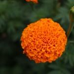 Тагетесът - любимото цвете на лятото